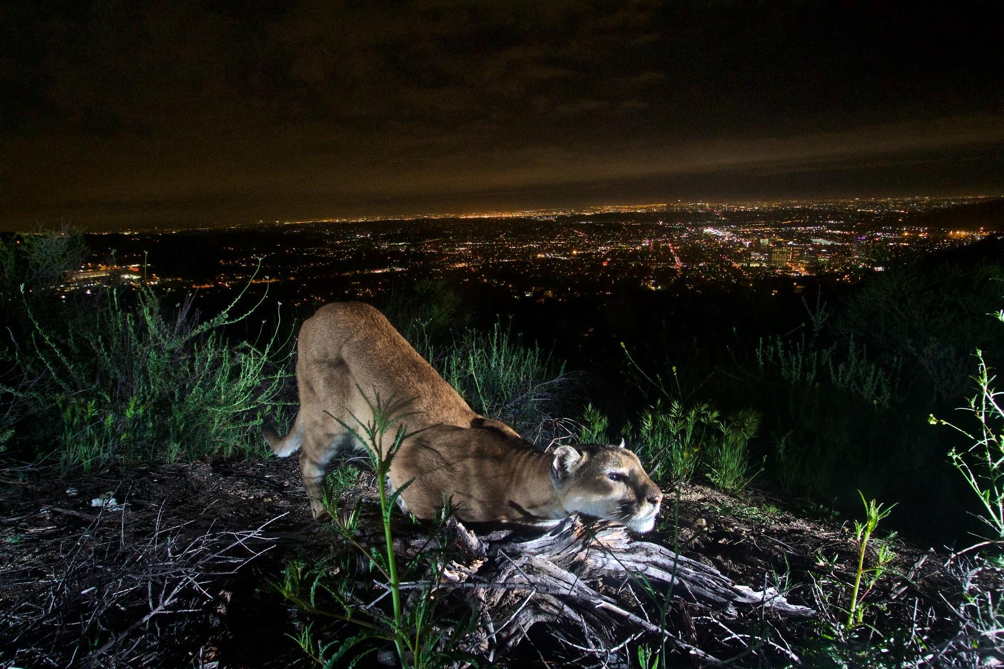 Cbd Mountain Lion Public Domain Nps