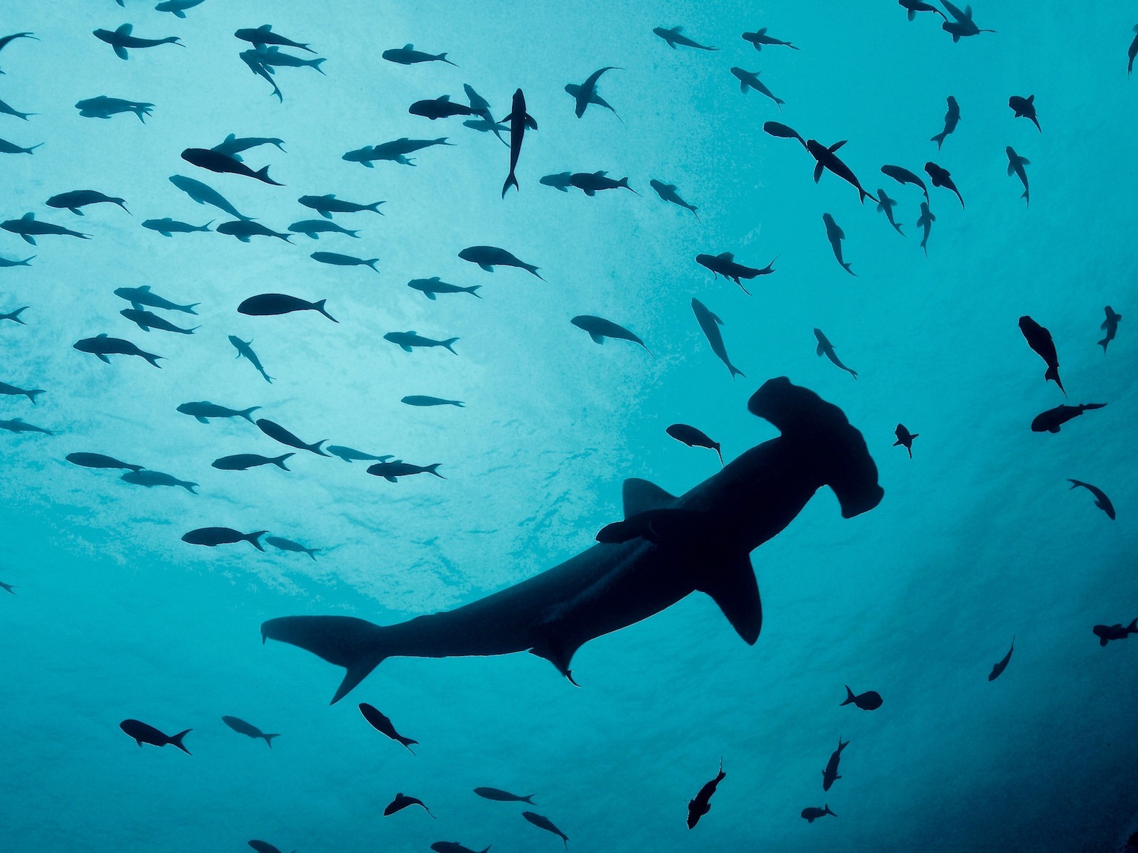 Galapagos Hammerhead Photo By Kristin Hettermann