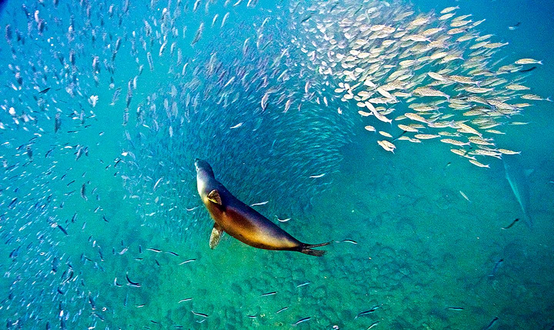 Galapagos Sea Lion Photo By Kristin Hettermann
