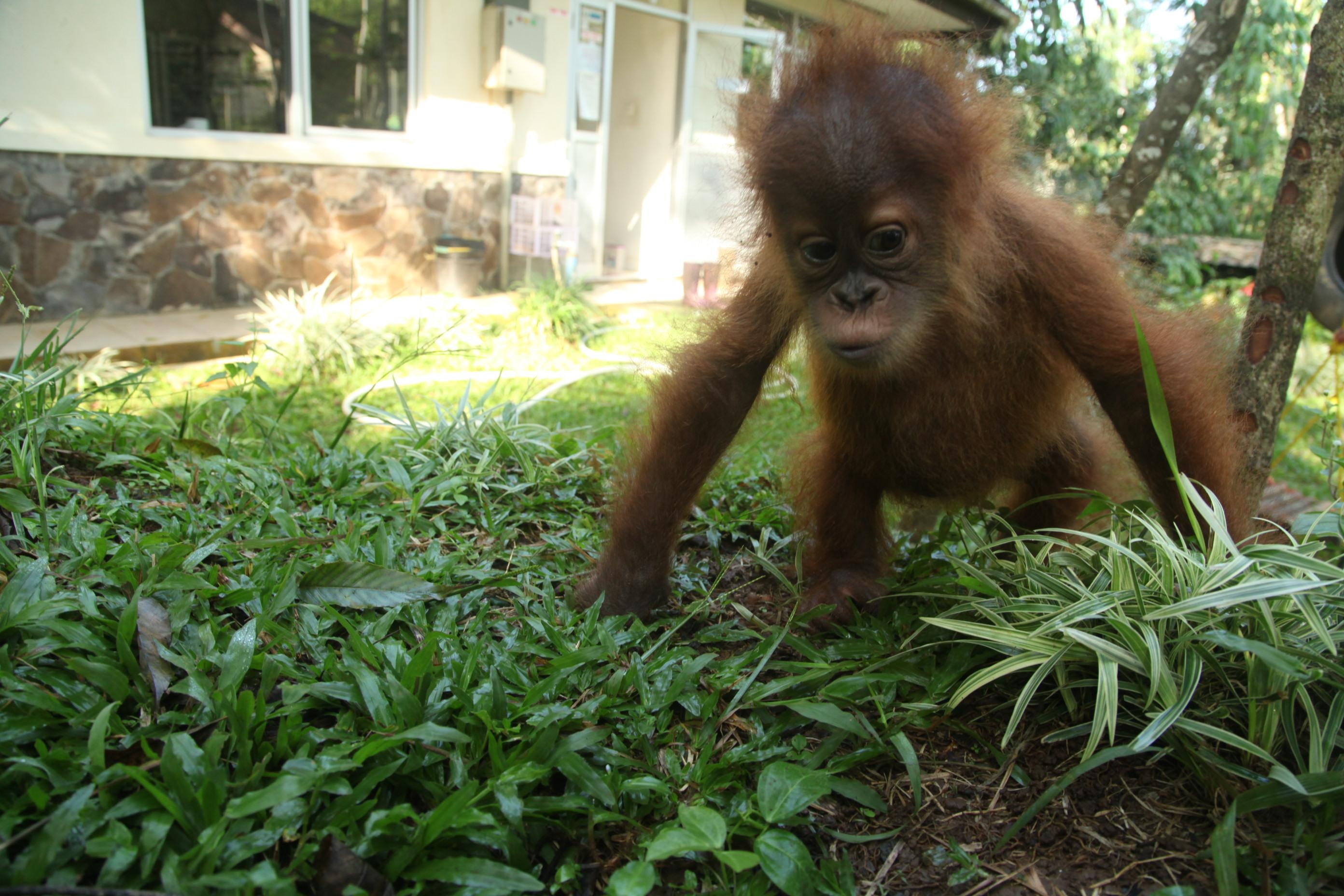 Jaan Orangutan Baby