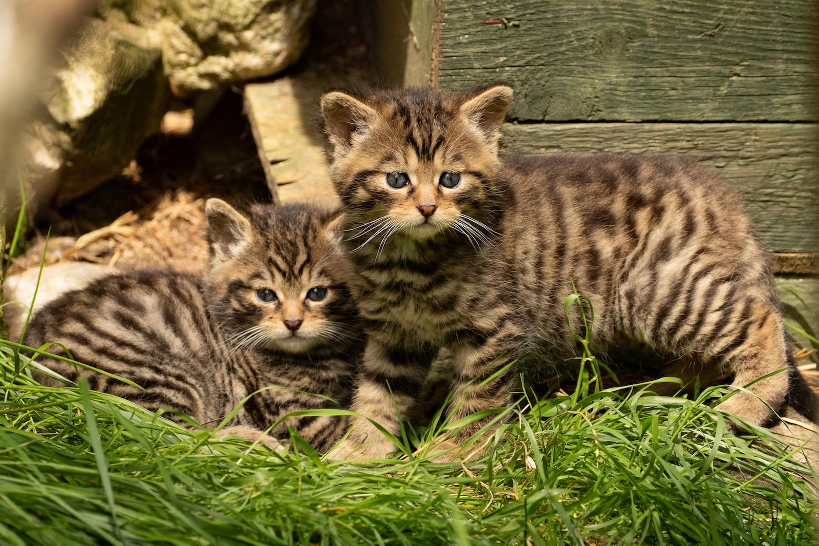 Kittens2020© Aigas Field Centre