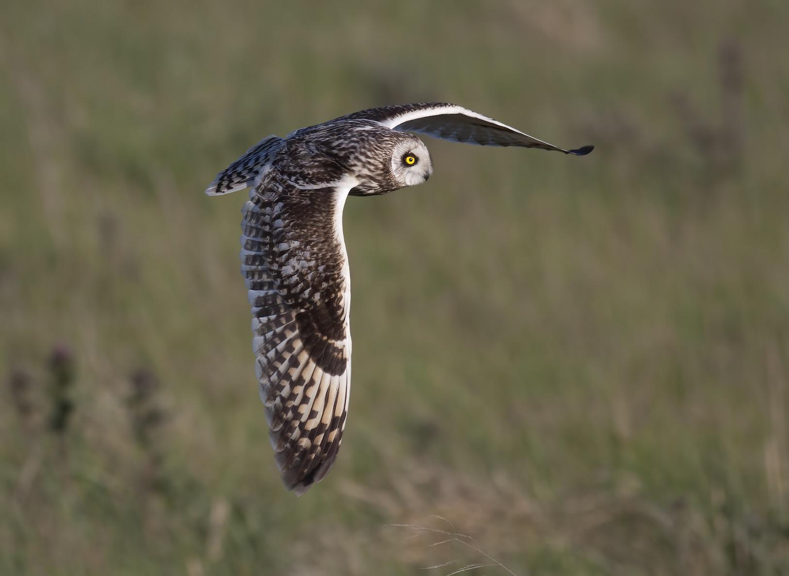 Langholm Short Eared Owl John Wright