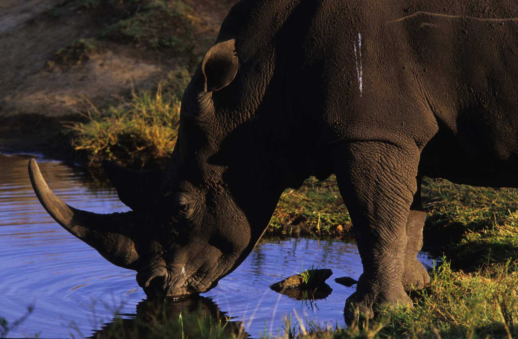 Lewa Rhino Rob Merrick