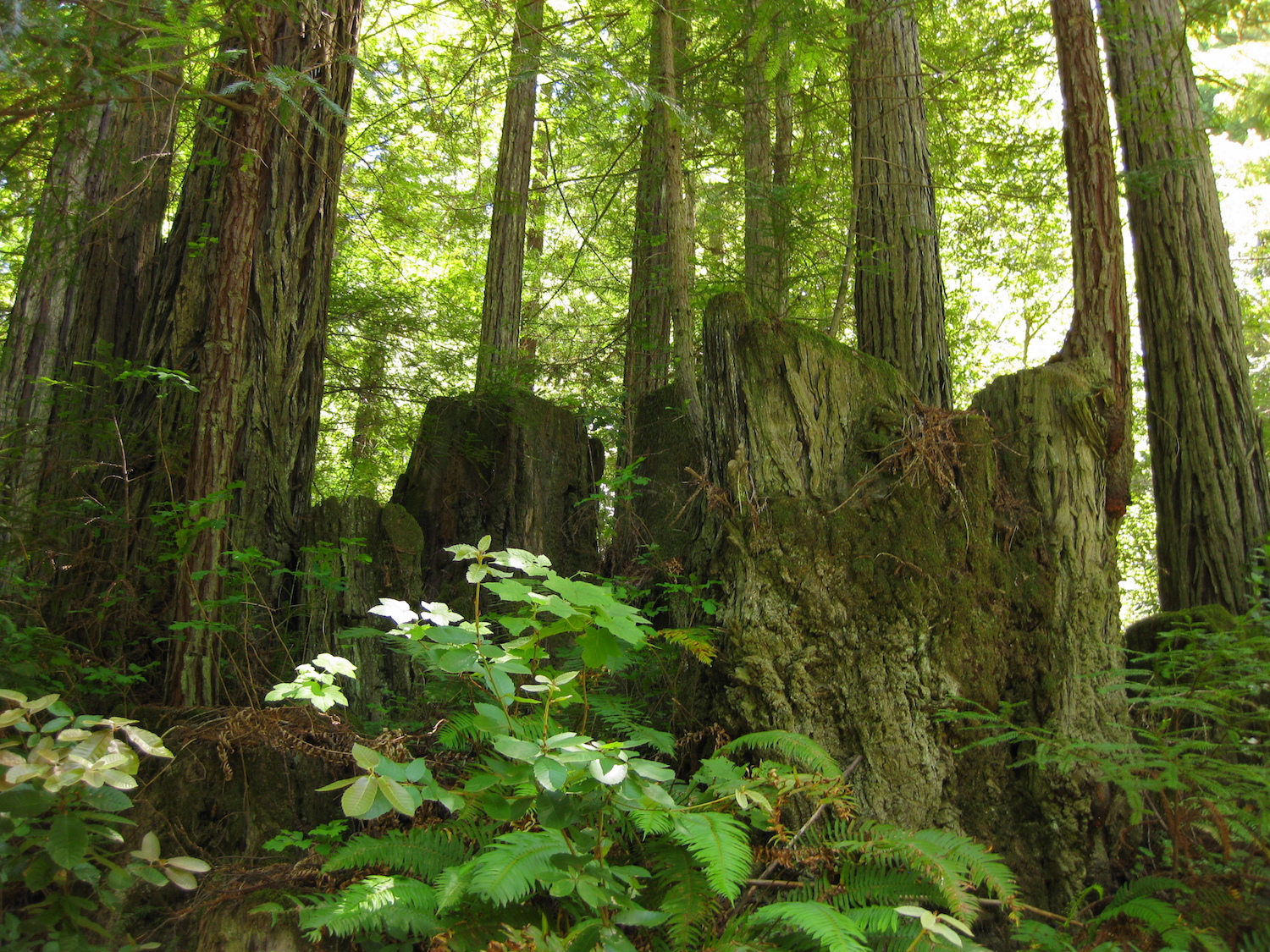 Save The Redwoods San Vicente 2