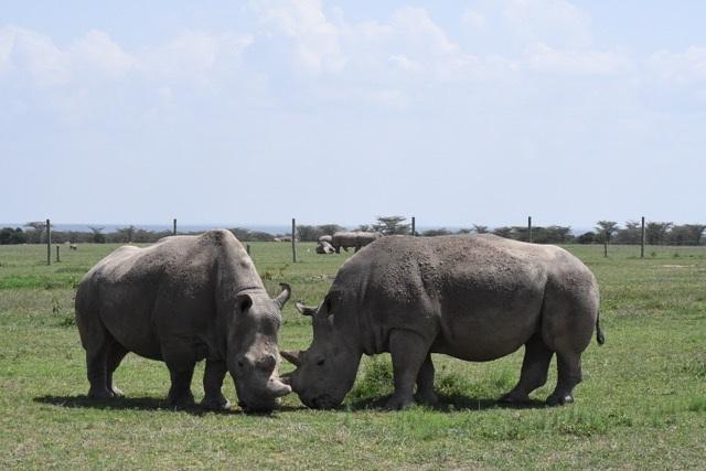 White Rhinos Op