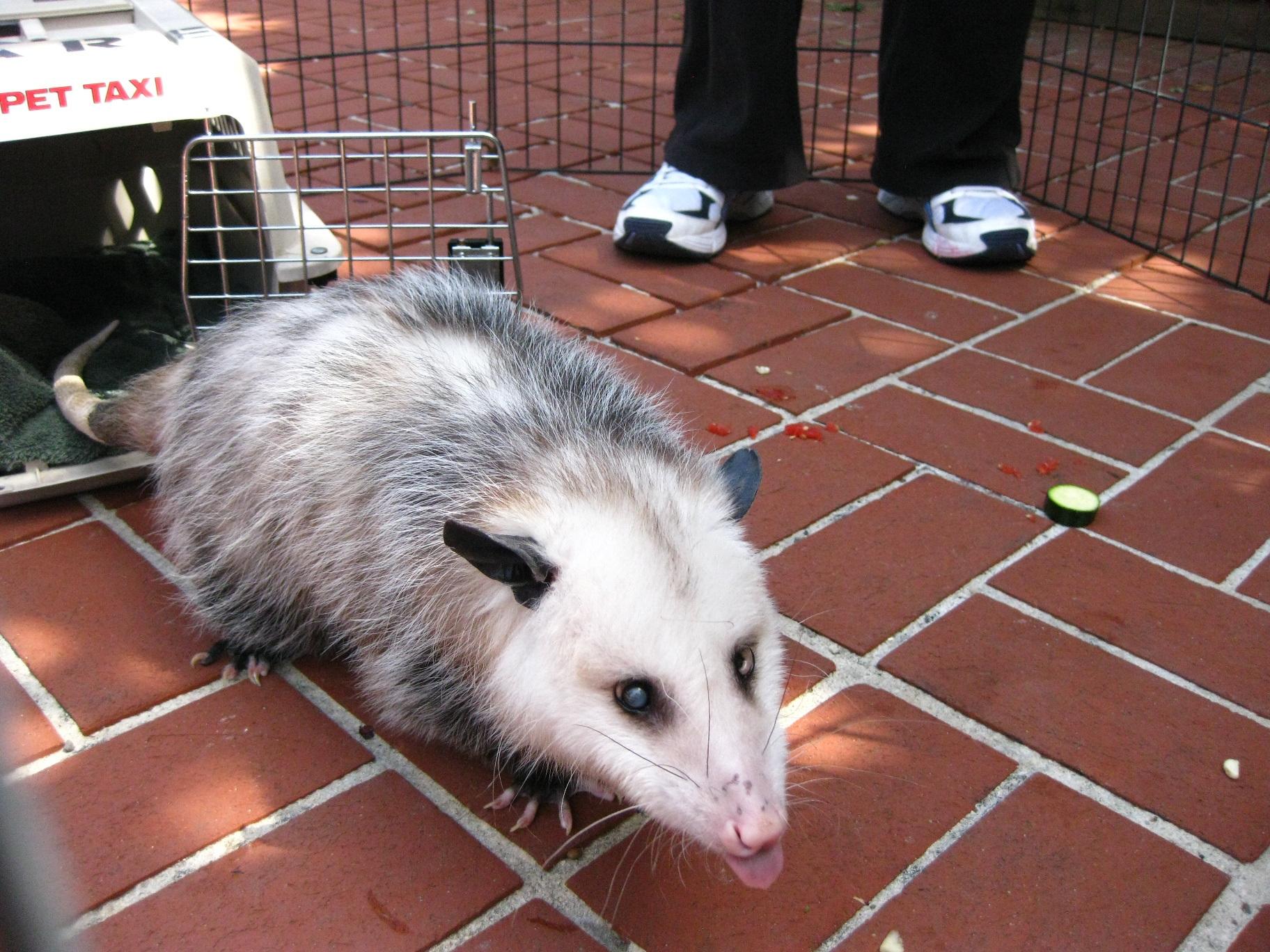 Wild Care Opossum