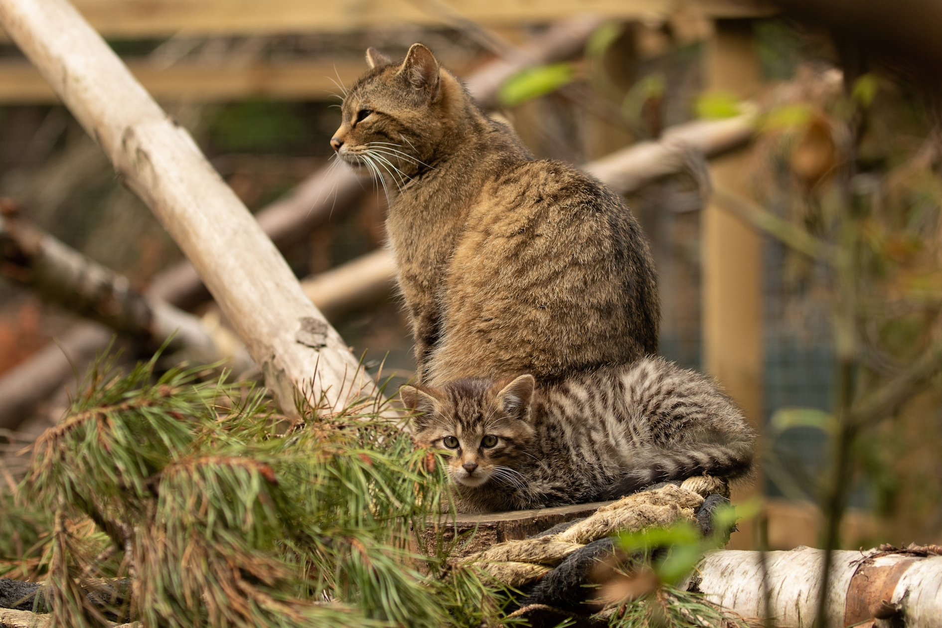 Wildcat Brora Kitten© Ben Jones